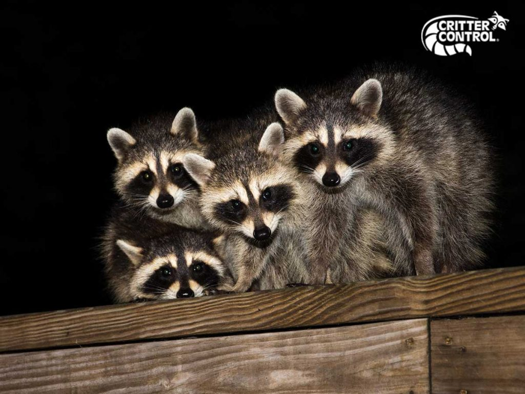 How Do I Get Raccoons Out of My Attic?