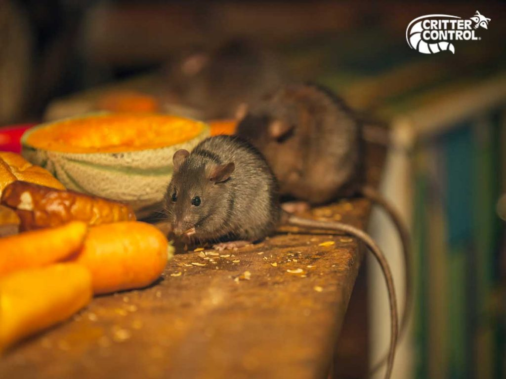 How to Get Rid of Attic Rats Quick