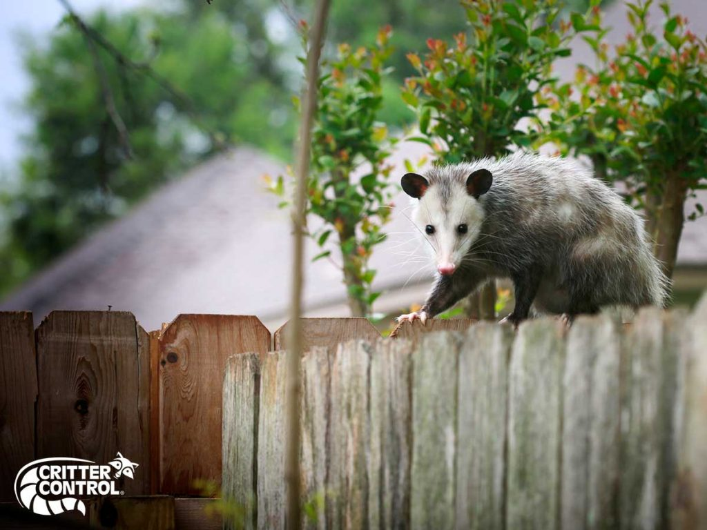 How to Keep Opossums Out of Your Yard