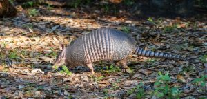 armadillo outside in the woods
