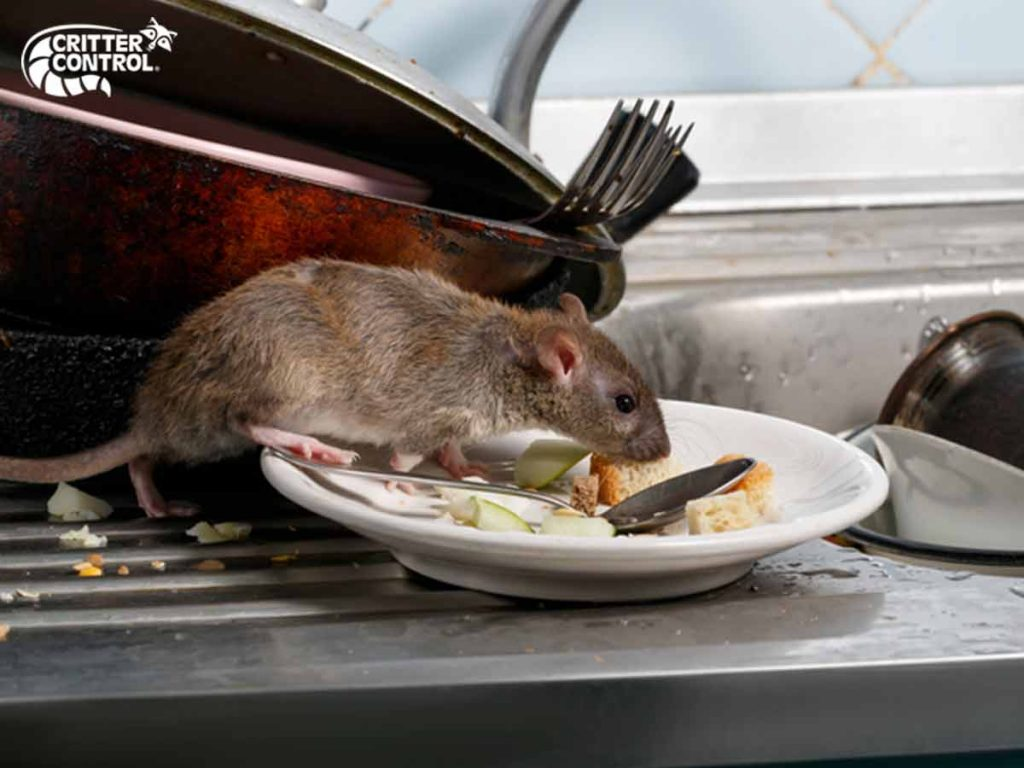 How to Get Rid of Rats in Your Auburndale Home