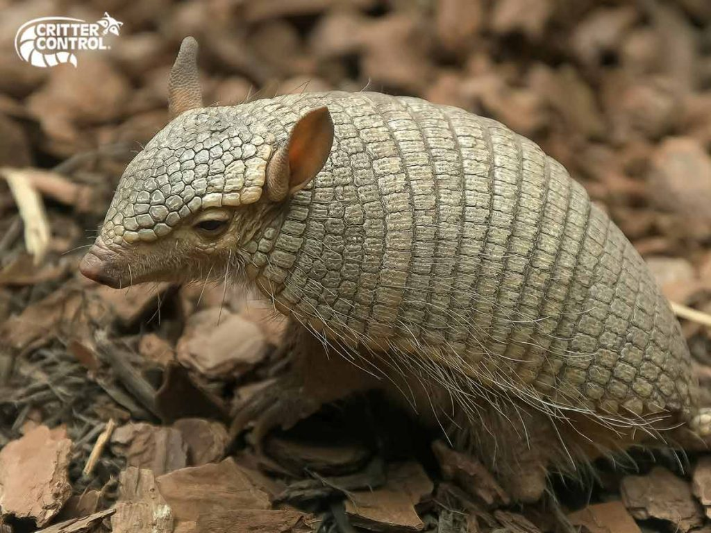 How to Trap Armadillos in Polk County?