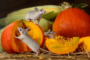 Mice eating fruit