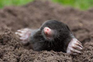 Mole coming to land from burrowing under the ground in a tunnel