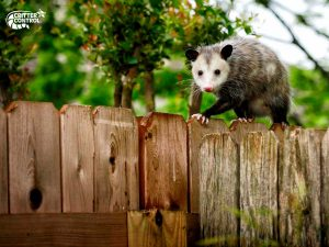 Opossum Removal in Polk County