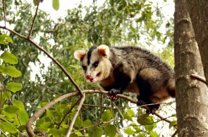 Opossums in tree
