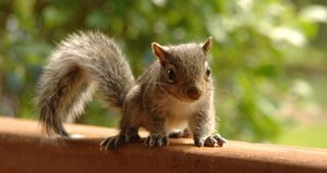 Photograph of brown squirrel