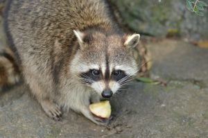 Raccoon rating piece of apple outside