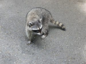 Raccoon Removal Lakeland | Attic | Trapping | Repairs