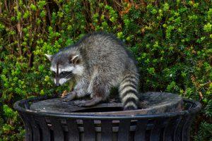 Raccoon sitting on trash can eating food