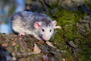 Rat outside on mossy log
