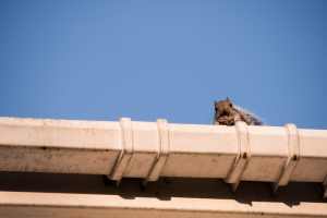 Winter Haven Squirrel Removal