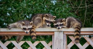 Raccoon Removal in Auburndale