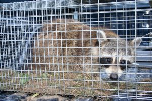 Critter Control Davenport | Wildlife Removal | Trapping