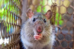 Rat Removal Lake Wales | Trapping | Control | Exterminator