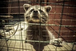Raccoon Removal in Winter Haven