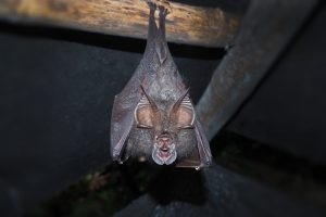 Bat Removal Davenport | Trapping | Control | Exterminator