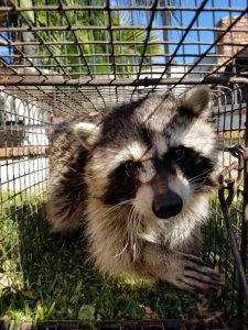 Raccooon Removal Lake Wales | Trapping | Control | Exterminator