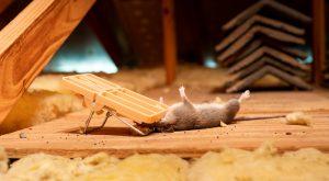 Auburndale Rat Removal
