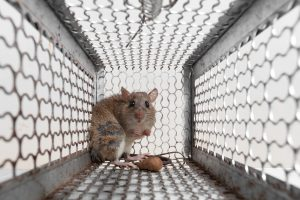 Rat Removal in Bartow