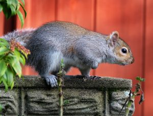 Davenport Squirrel Removal   Trapping   Control   Exterminator