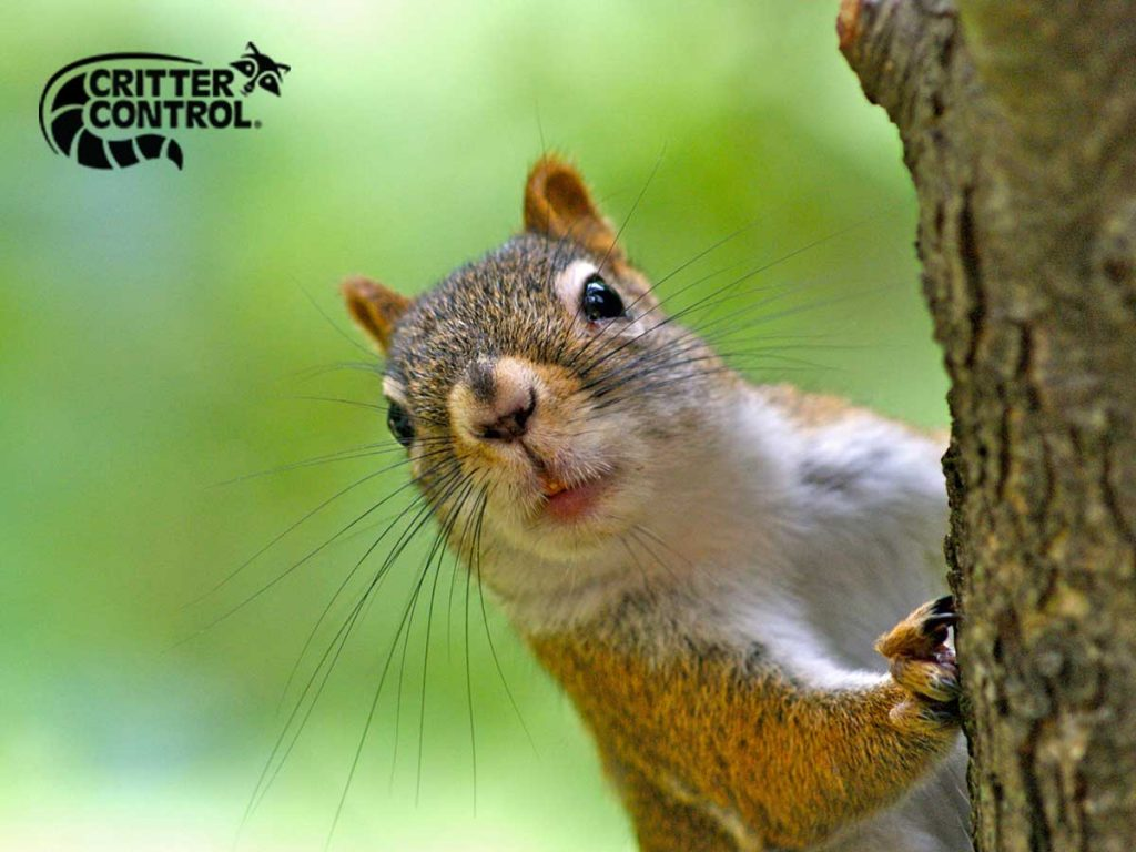 7 Signs of a Squirrel Infestation