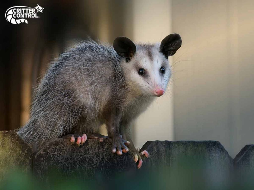 What Are the Best Opossum Deterrents?